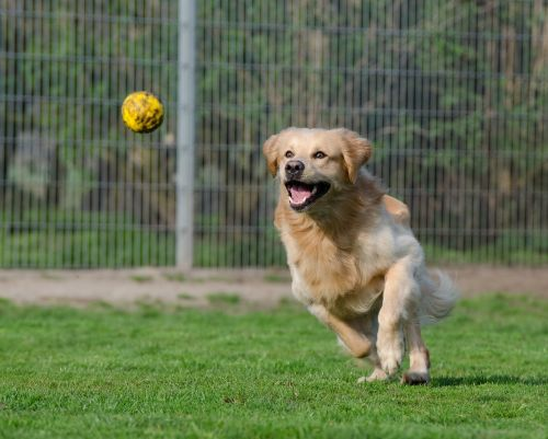 golden retriever animal shelter dog pension
