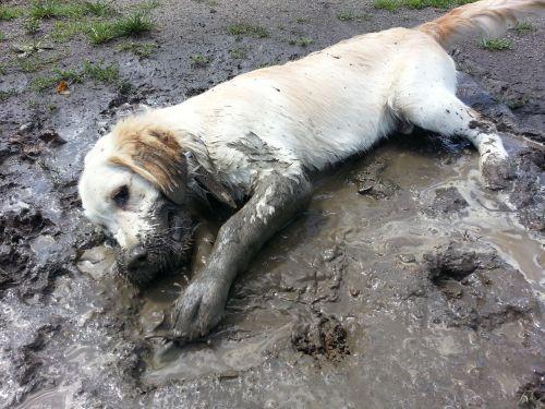 golden retriever plays purebred dog
