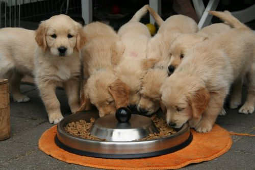 golden retriever puppy dog puppy while it is eating cute puppy