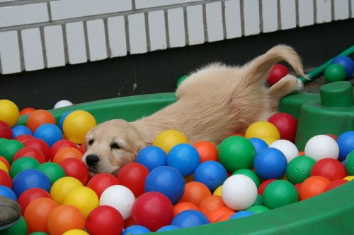 golden retriever puppy puppy in the pool dog puppy playing