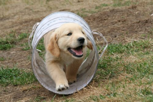 golden retriever puppy dog puppy cute puppy