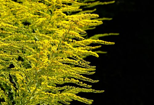 golden rod gold diamond herbaceous plant