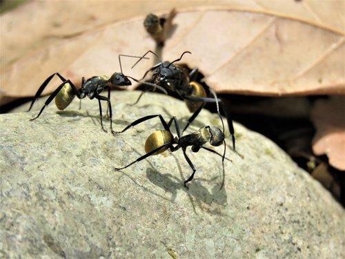golden tailed spiny ant  golden tailed  spiny ant