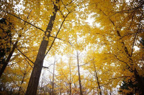 golden yellow ginkgo ginkgo trees