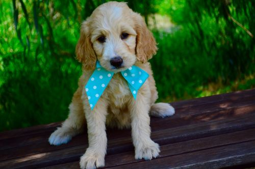 goldendoodle puppy two