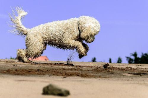 golden doodle dog play