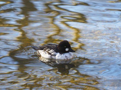 goldeneye bucephala clangula duck
