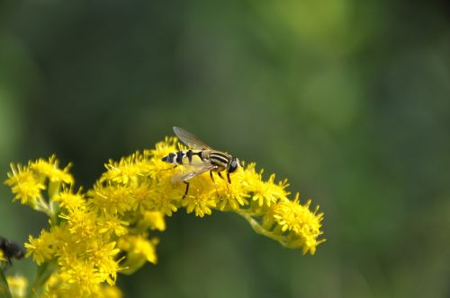 goldenrod hoverfly yellow