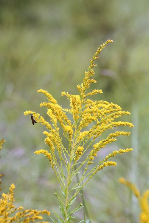 Goldenrod Wildflower And Wasp