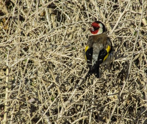 goldfinch bird carduelis