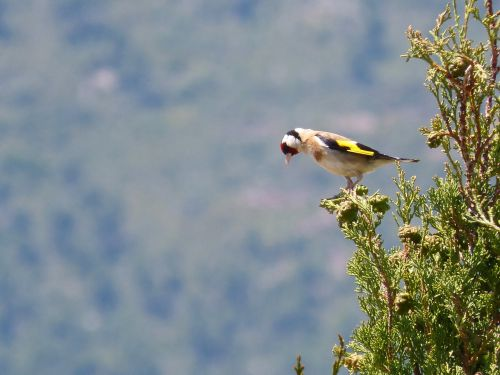 goldfinch singing trill