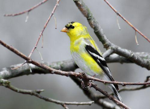 goldfinch bird male