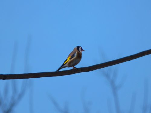 goldfinch bird cable