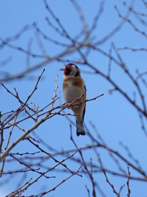 goldfinch cadernera branches
