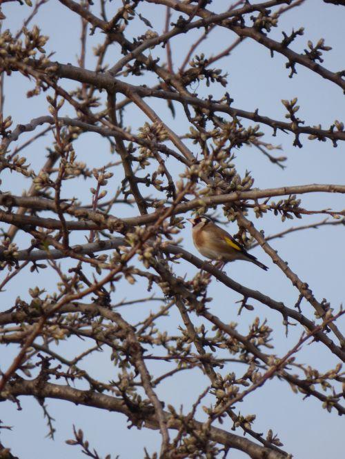 goldfinch bird cadernera