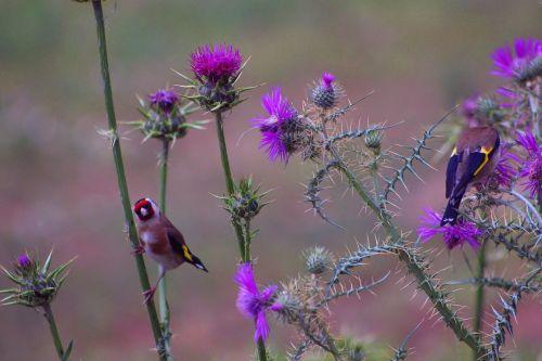 goldfinch birds thistle