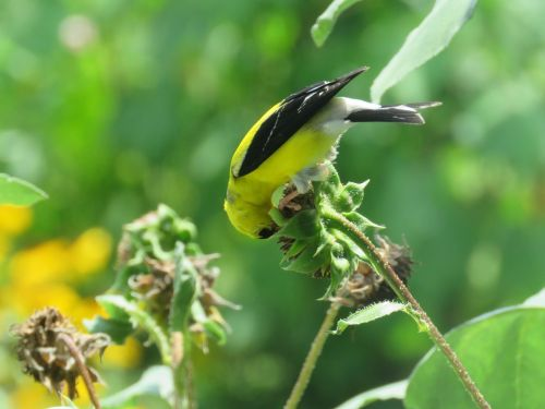 goldfinch sunflowers bird