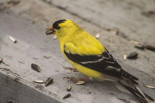 goldfinch bird yellow