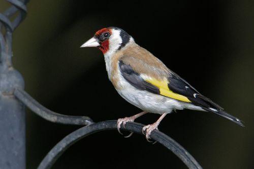 goldfinch wildlife bird