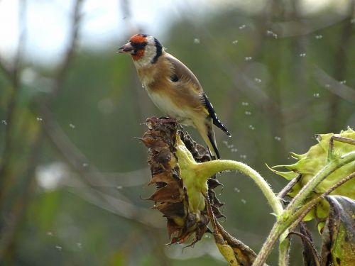 goldfinch stieglitz songbird