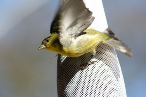 goldfinch flying take off