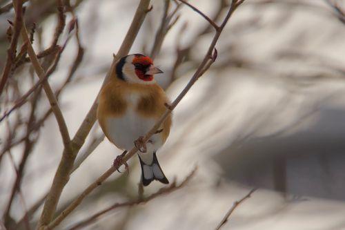 goldfinch elegant bird