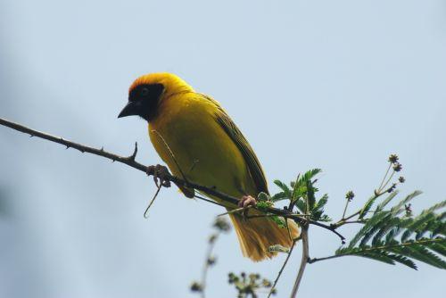 goldfinch finch bird
