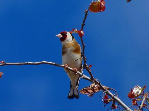 goldfinch birds animals