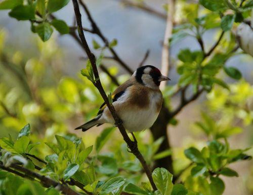 goldfinch bird singer