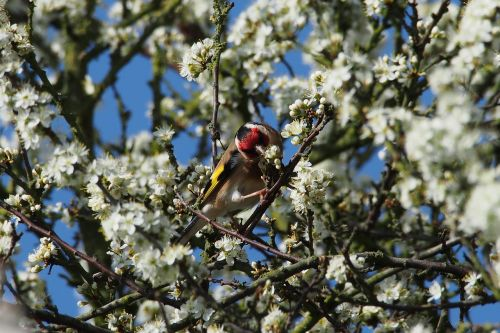 goldfinch bird tree