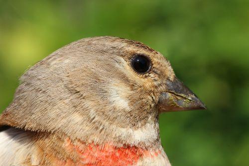 goldfinch carduelis cannabina