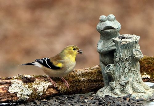 Goldfinch And Frog