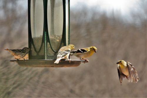 Goldfinch In Flight To Feeder