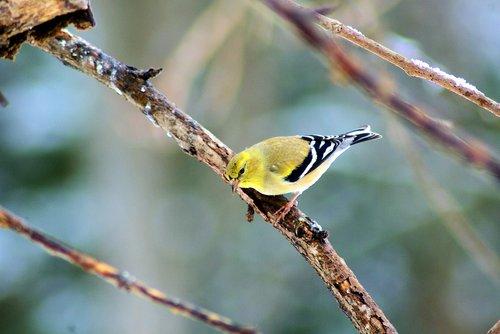 goldfinch in ozark winter  finch  bird