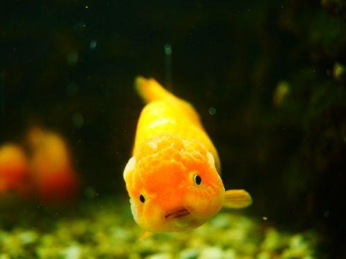 goldfish animal fish