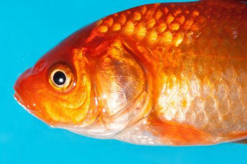 auksinė žuvelė,gėlavandenės žuvys,karpfenfisch,cyprinidae,naminis gyvūnėlis,auksas,oranžinė,balta,skalė,makro,struktūra