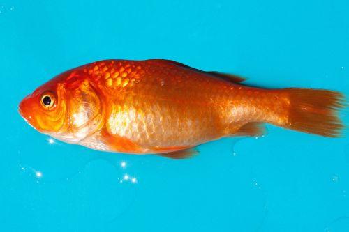 auksinė žuvelė,gėlavandenės žuvys,karpfenfisch,android,silberig,cyprinidae,naminis gyvūnėlis,auksas,oranžinė,balta,skalė