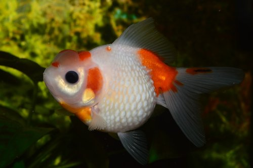 goldfish  pearl  flakes of pearl