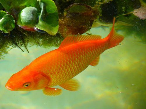 goldfish fish swim