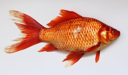 goldfish,carassius,fish,golden,red