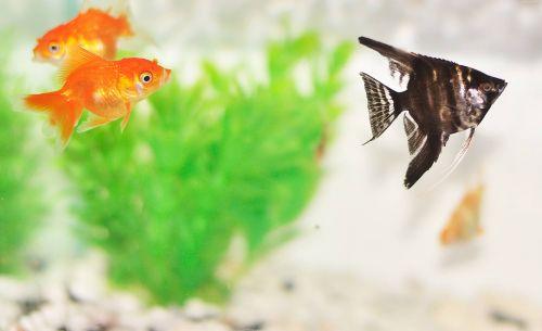 Goldfish In Tank