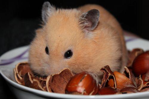 goldhamster hamster animal