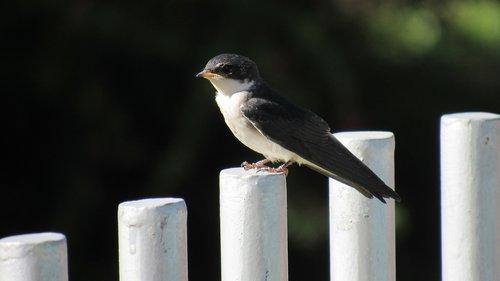 golondrina chilena  swallow  chile