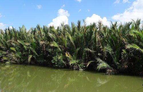 golpatta  nipa fruticans  palm