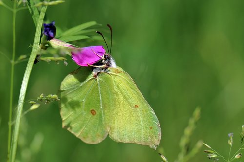 gonepteryx rhamni  butterfly  insect
