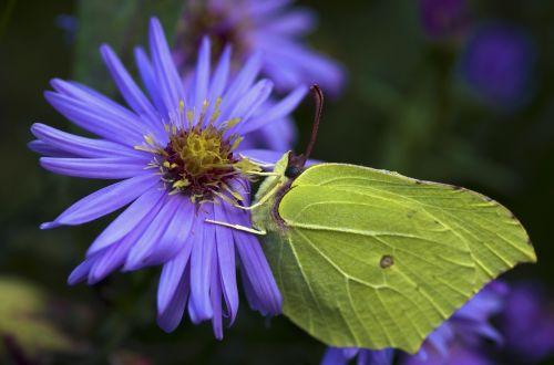 gonepteryx rhamni butterfly autumn