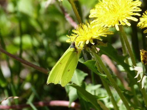 gonepteryx rhamni butterfly yellow