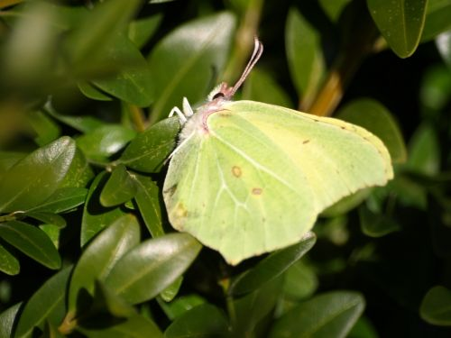 Dedpeterx Rhamni,drugelis,geltona,vabzdys,pavasaris,Uždaryti
