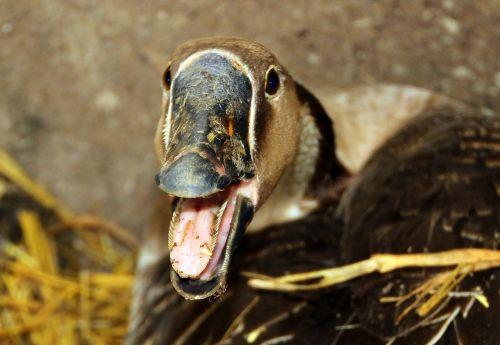 goose höcker goose poultry