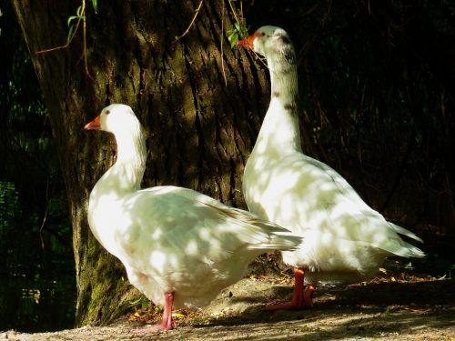 goose duck bird goose family